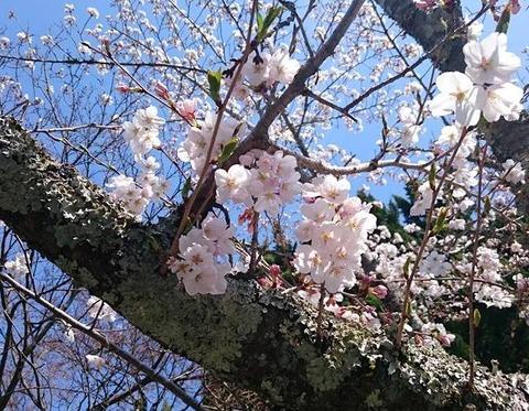 天野街道の桜、すぐ目の前に