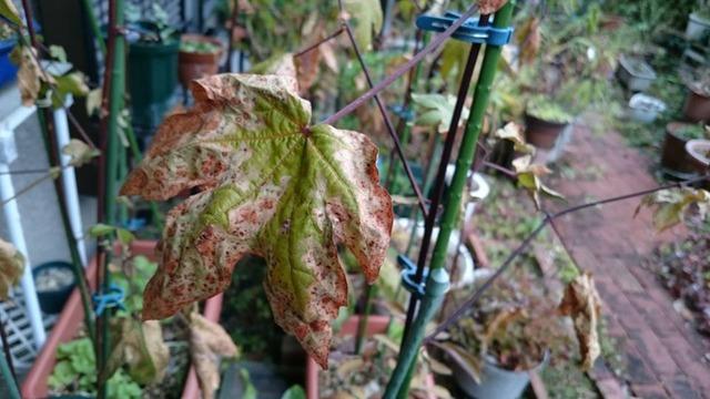 12月の綿の葉