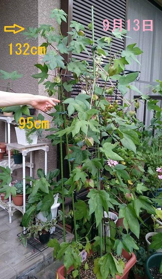 9月13日、綿の身体測定。草丈134cm、摘芯位置は95cm