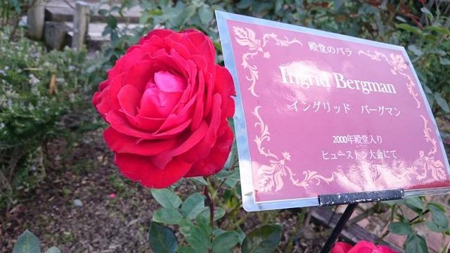 イングリッドバーグマン、花の文化園