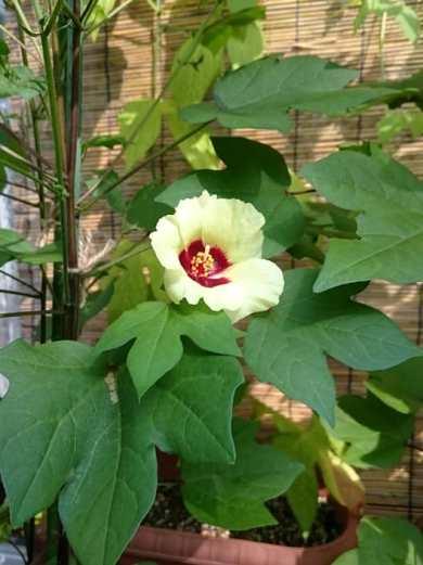 8月6日、綿の花