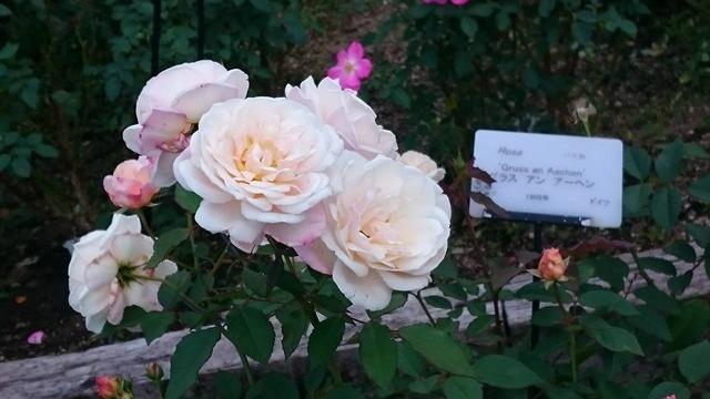 グラスアンアーヘン、花の文化園にて