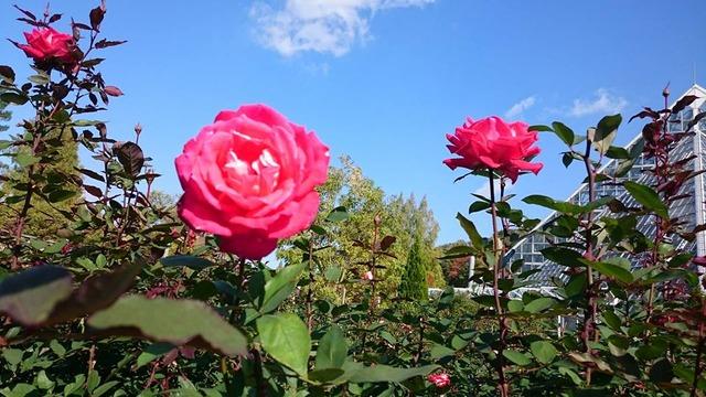 バラと青空、花の文化園にて大温室をバックに