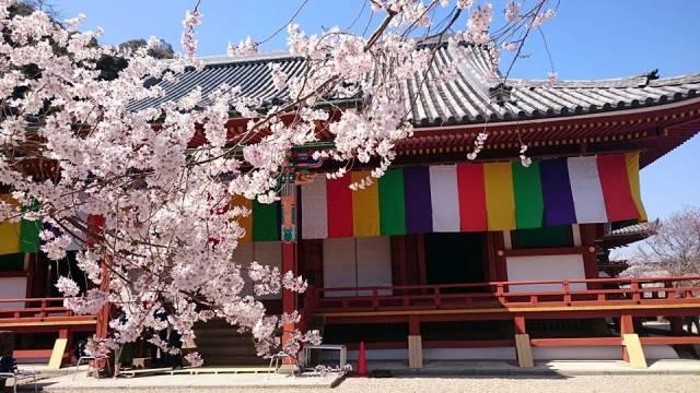 天野山金剛寺、桜越しの金堂