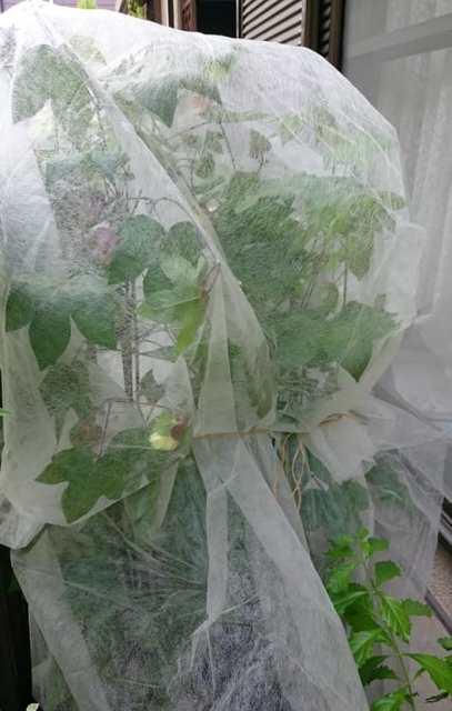 8月23日、台風に備えて綿に不織布をかけました