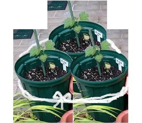 後輩1号の植木鉢を3つまとめて白い紐で縛ったイメージ図。写真を加工して作成