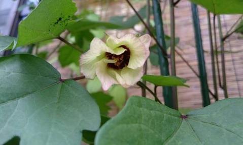 7月31日に咲いた洋綿の花。しぼみかけ