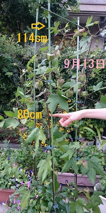 9月13日、綿の身体測定。草丈114cm、摘芯位置は80cm