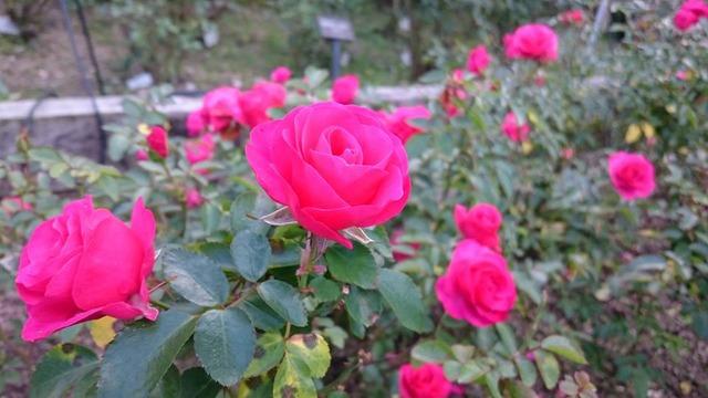 赤いバラ、花の文化園にて