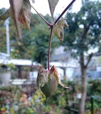 最後の綿の実を摘み取った日。緑色の実