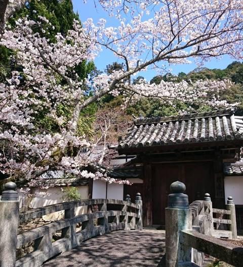 天野街道、講堂側への橋と桜