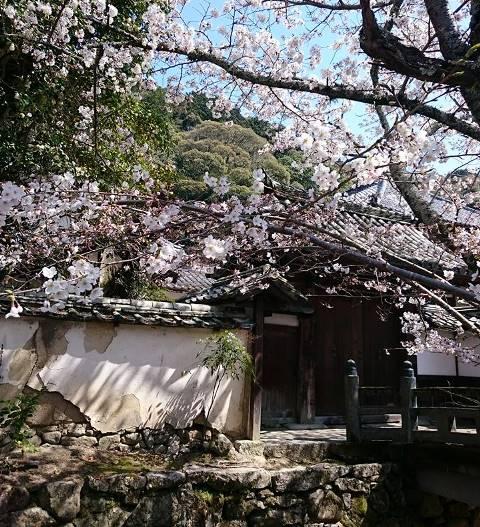 天野街道の桜