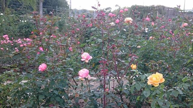 バラ園、花の文化園にて