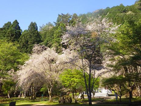 今日の川上村の桜(4月28日)蜻蛉の滝