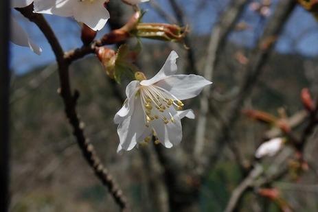 Kasumi ZAKURA flowered