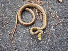 シマヘビ0857 (3)