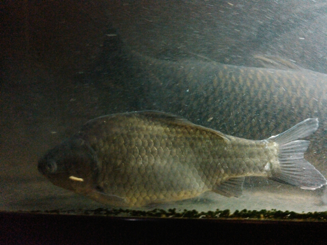 ヘラブナを飼う : 鯉焦がれ ~来る魚、拒まず~