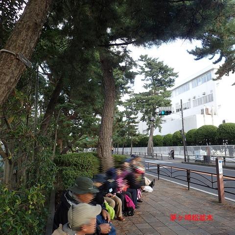 茅ヶ崎松並木