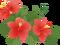 hibiscus_l