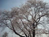 桜2 002