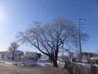雪桜 001
