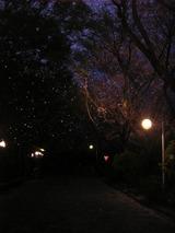 きらきら桜