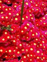 総社の赤花