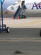 ガラパ空港にイグアナ