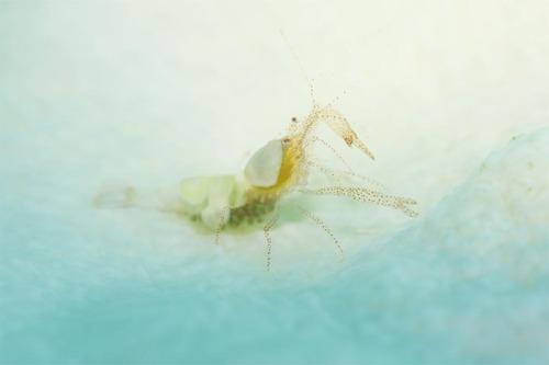 Hamopontonia_fungicola