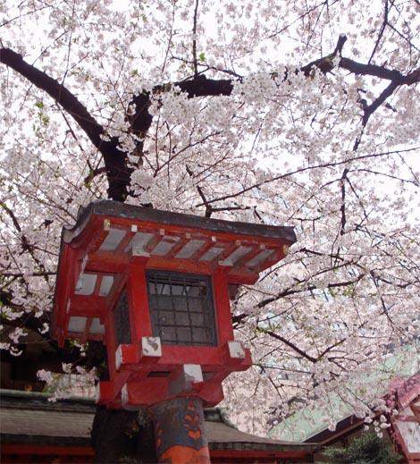 hanazono_sakura