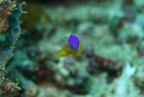 Royal_Dottyback