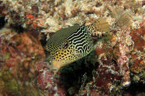 Reticulateboxfish