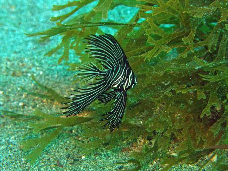 zebra_badfish