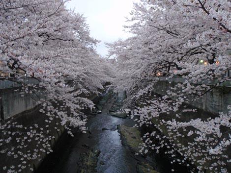 kanndagawa_sakura