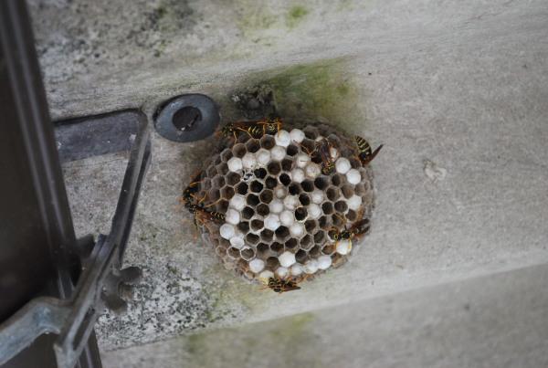 アシナガバチの画像 p1_22