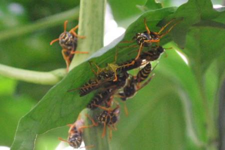 アシナガバチの画像 p1_5