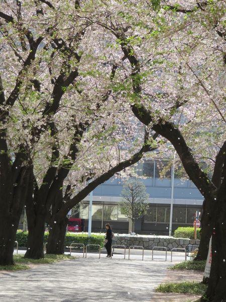 桜の道で出会った猫たち
