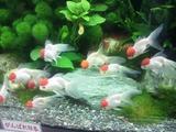 20120415金魚の品評会4