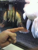20120415金魚の品評会1