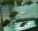 20100110金魚1