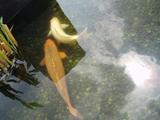 実践の鯉ブログ20080516