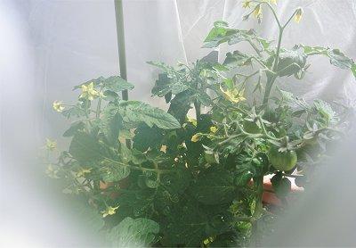 20121112-tomato (2)