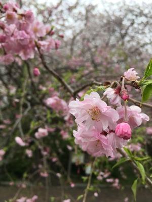 しだれ桜。
