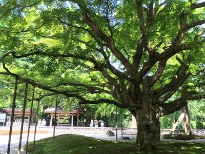千如寺の大楓。
