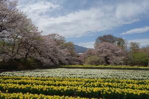 甲斐駒ヶ岳と水仙と実相寺の神代桜