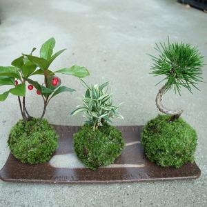 ヤブコウジ・チゴ笹・黒松のお正月の苔玉