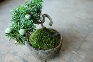 海岸トショウの苔盆栽