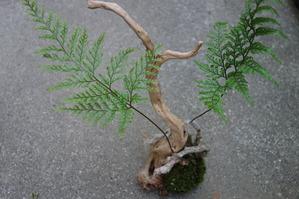 トキワシノブの苔玉