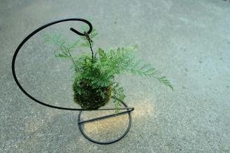 草シノブ(タバリア)の吊り苔玉