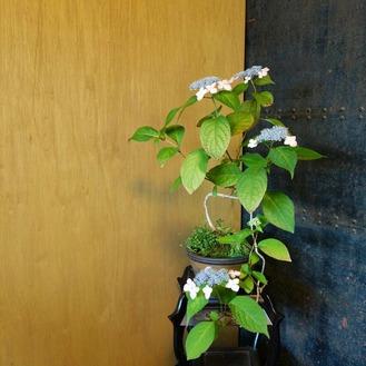 山アジサイの盆栽